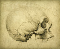 Skull study Royalty Free Stock Photo