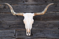 Skull. Of a Texas Longhorn royalty free stock photography
