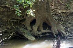 Skull in tree roots stock photo