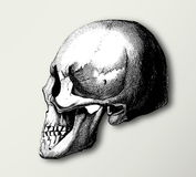 Skull vintage illustration Royalty Free Stock Image