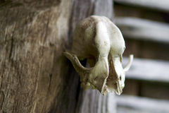 Skull on the wall Royalty Free Stock Image