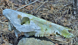 Skull of wild boar 1 Royalty Free Stock Photos
