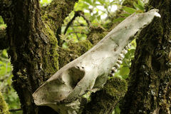 Skull wildboar still life Stock Photography