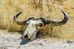 Skull of a wildebeest (Connochaetes) Royalty Free Stock Photo