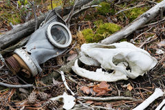 Skull of a wolf and an old gas mask. Protecting animals from the dangers created by man in a grotesque interpretation Royalty Free Stock Image