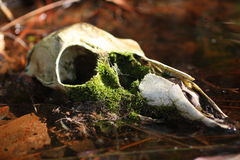 Skull in Woods Royalty Free Stock Photo
