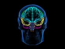 Skull X-Ray Brain Front Stock Photo