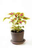 Skullcaplike Coleus Royalty Free Stock Photo
