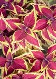 Skullcaplike Coleus  leaf Stock Images