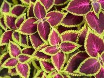 Skullcaplike Coleus  leaf Stock Photo