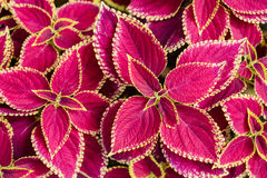 Skullcaplike Coleus  leaf Royalty Free Stock Photography