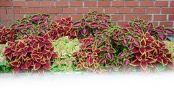 Skullcaplike Coleus  leaf Stock Photography