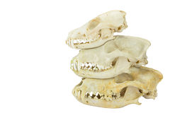 Skulls of fox and dogs on top of each other Royalty Free Stock Photography