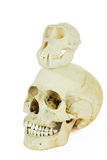 Skulls of human and ape on top of each other Royalty Free Stock Photos