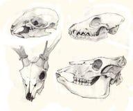 Skulls Royalty Free Stock Image
