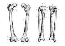 Skulls 03 Stock Image