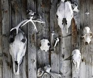 Skulls on the wall. Animal skus on the wall Stock Photos