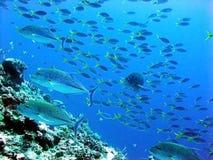 skumbriowy gangu underwater Zdjęcie Stock
