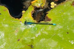 Skumma den Bluet damselflyen - Enallagma geminatum arkivbilder
