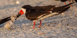 Skumslevmamma med skumslevfågelungen royaltyfria bilder