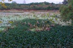Skumt vatten av Lotus Plans arkivfoto