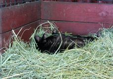 skunk стоковые изображения