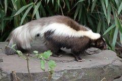 skunk стоковая фотография rf