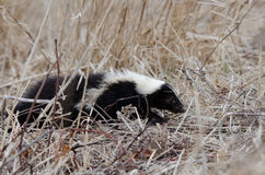 Skunk Royalty Free Stock Photos