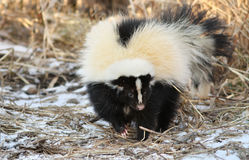 Skunk Stock Images