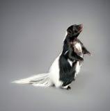 skunk Fotografering för Bildbyråer