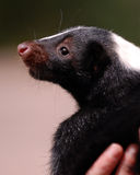 Skunk! Royalty Free Stock Images