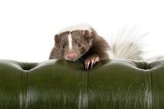 skunk Imagens de Stock