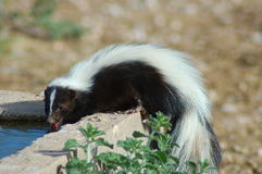 Skunk Royalty Free Stock Photo