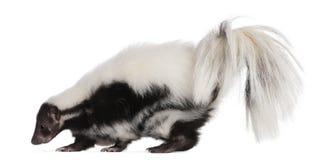 skunk 5 mephitis старый striped леты стоковое фото rf