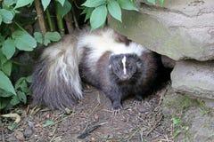 skunk fotografie stock libere da diritti