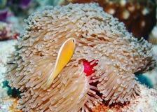 Skunk Anemonefish. (Amphiprion sandaraeinos) in the Indian Ocean stock photos