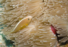 Skunk Anemonefish Royalty Free Stock Photo
