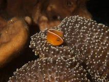 Skunk Anemonefish stock photo