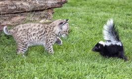 Skunk and Bobcat. A young skunk and young bobcat meet. Close up profile image. Summer in Wisconsin Royalty Free Stock Images