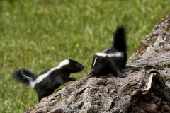 Skunk Buddies Stock Photography