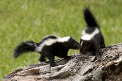 Skunk Buddies Stock Images