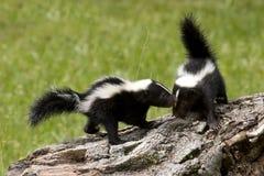 Skunk Buddies stock images