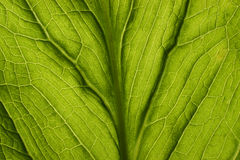 Skunk Cabbage. Back side of wild skunk cabbage Stock Image