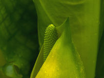 Skunk Cabbage Royalty Free Stock Images