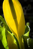Skunk Cabbage Royalty Free Stock Photos