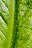 Skunk cabbage leaf detail Stock Photos