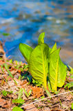 Skunk cabbage Royalty Free Stock Photo