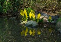 Free Skunk Cabbage, Lysichiton Americanus Stock Photography - 80957562