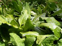 Skunk Cabbage Stock Photography