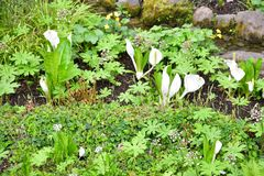 White skunk cabbage stock photography